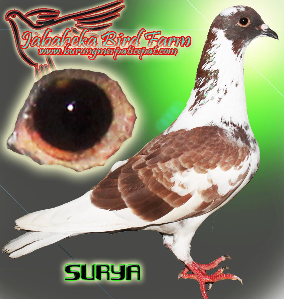 Pengiriman Burung merpati Bulan Mei 2013 terhitung tgl 1 - 15 mei