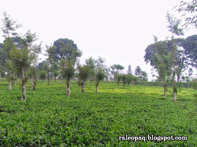 Pesona hijau kebun teh Wonosari di Kecamatan Lawang dan Singosari Kabupaten Malang. Hamparan hijau yang luas dapat menyegarkan mata serta udara sejuk yang dapat menentramkan.