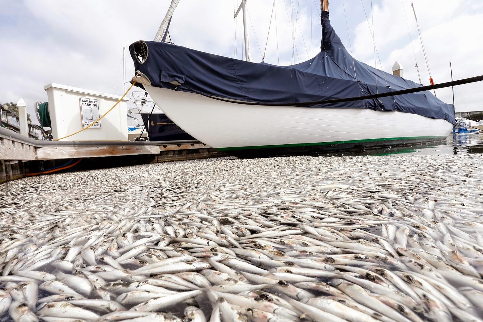 L a t i t u d e thousands of fish dead in marina del rey for Marina del rey fishing