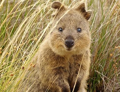 """Marsupial conhecido como """"Quokka"""" sorrindo para a foto"""