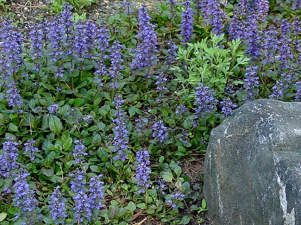 Green Girly Zone 3 Flowering Ground Cover Bugleweed Ajuga