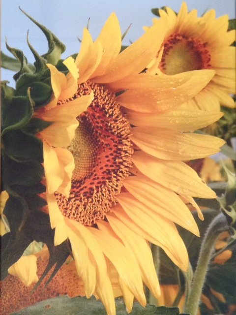 sunflower, photo on canvas, yellow, Judy Ross