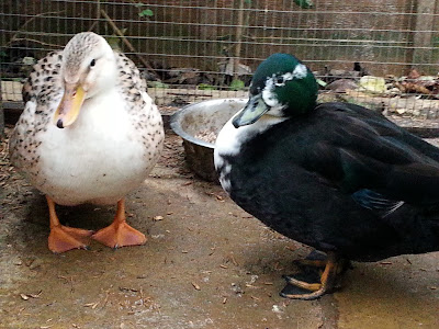 Scoot And Carue The Miniature Silver Appleyard And Call Duck.