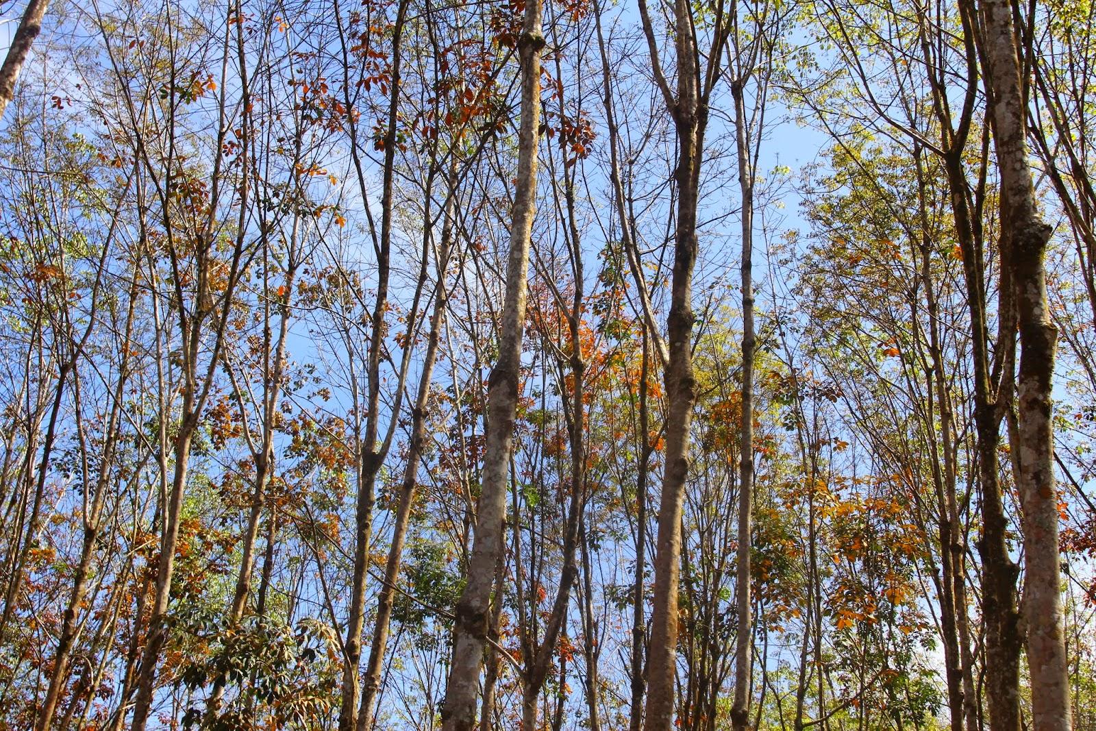 Pokok getah yang mula menggugurkan daun