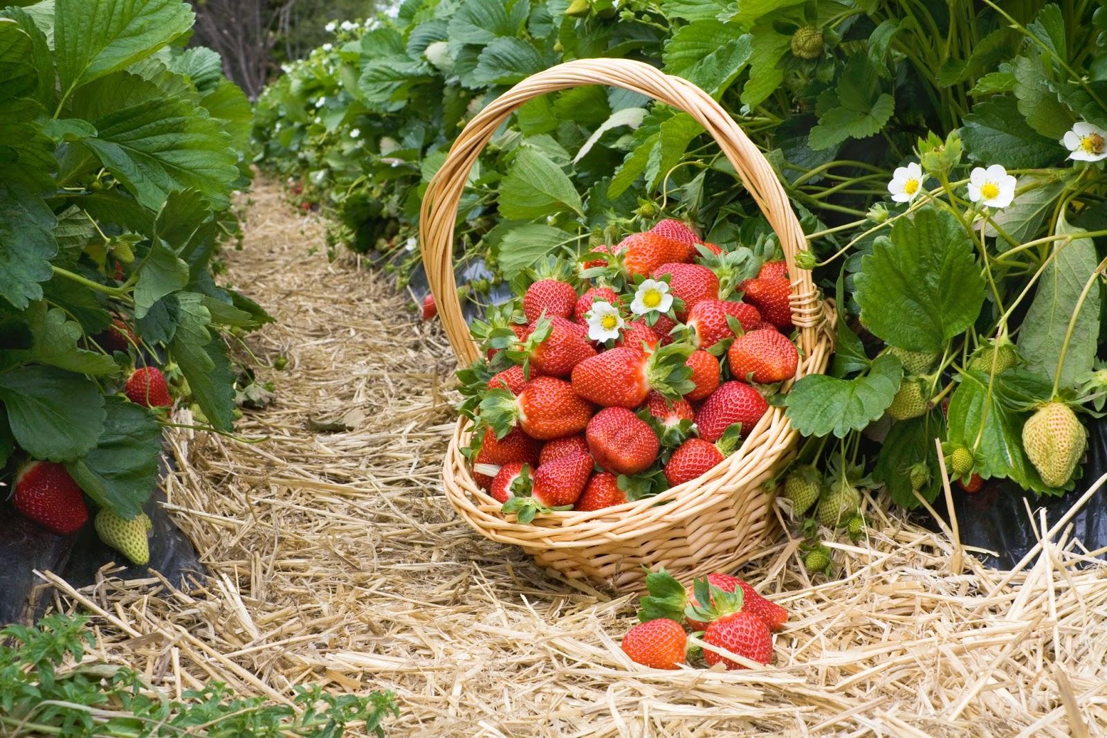 Правила выращивания земляники садовой.