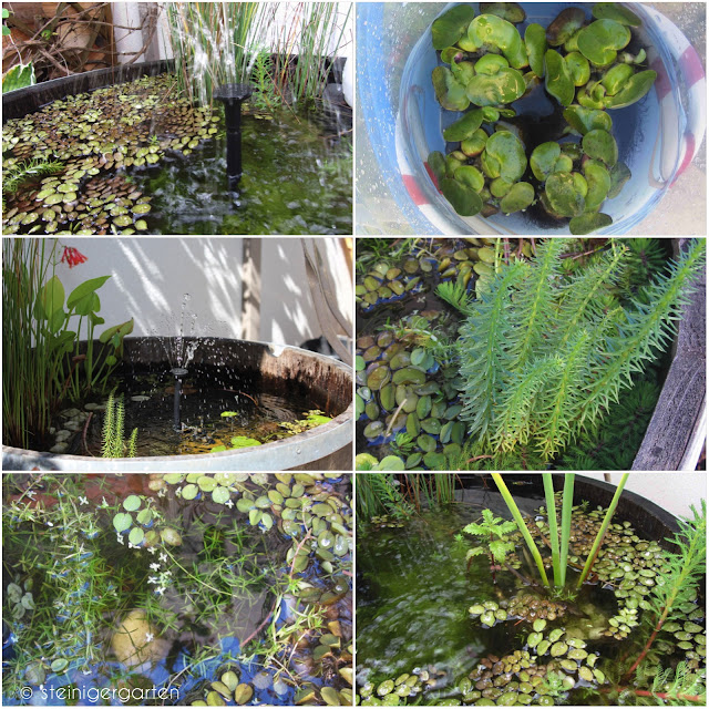 Teichpflanzen f r den mini teich for Miniteich winter