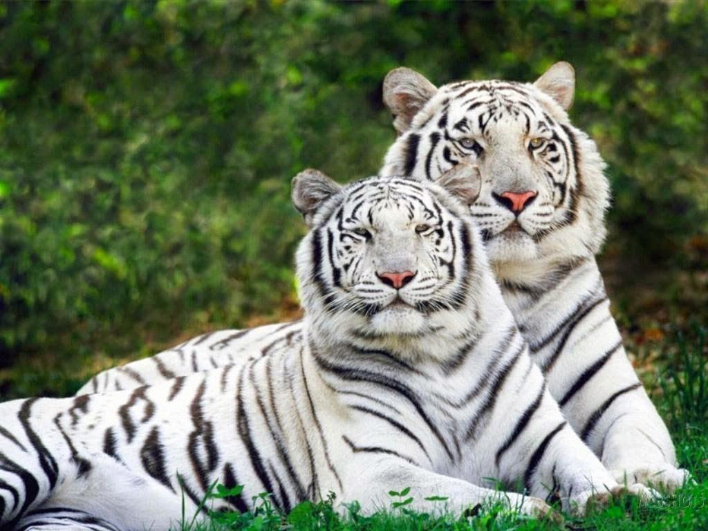 dos-tigres-blancos-posando