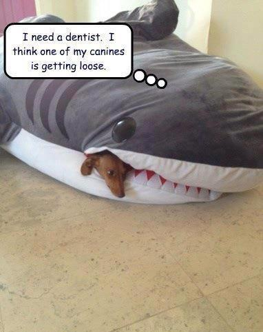 Funny Shark Canine Picture - I need a dentist dog