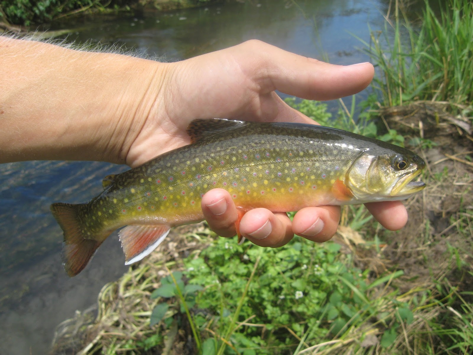 Minnesota driftless fly fishing trip report hot and fishy for Driftless fly fishing