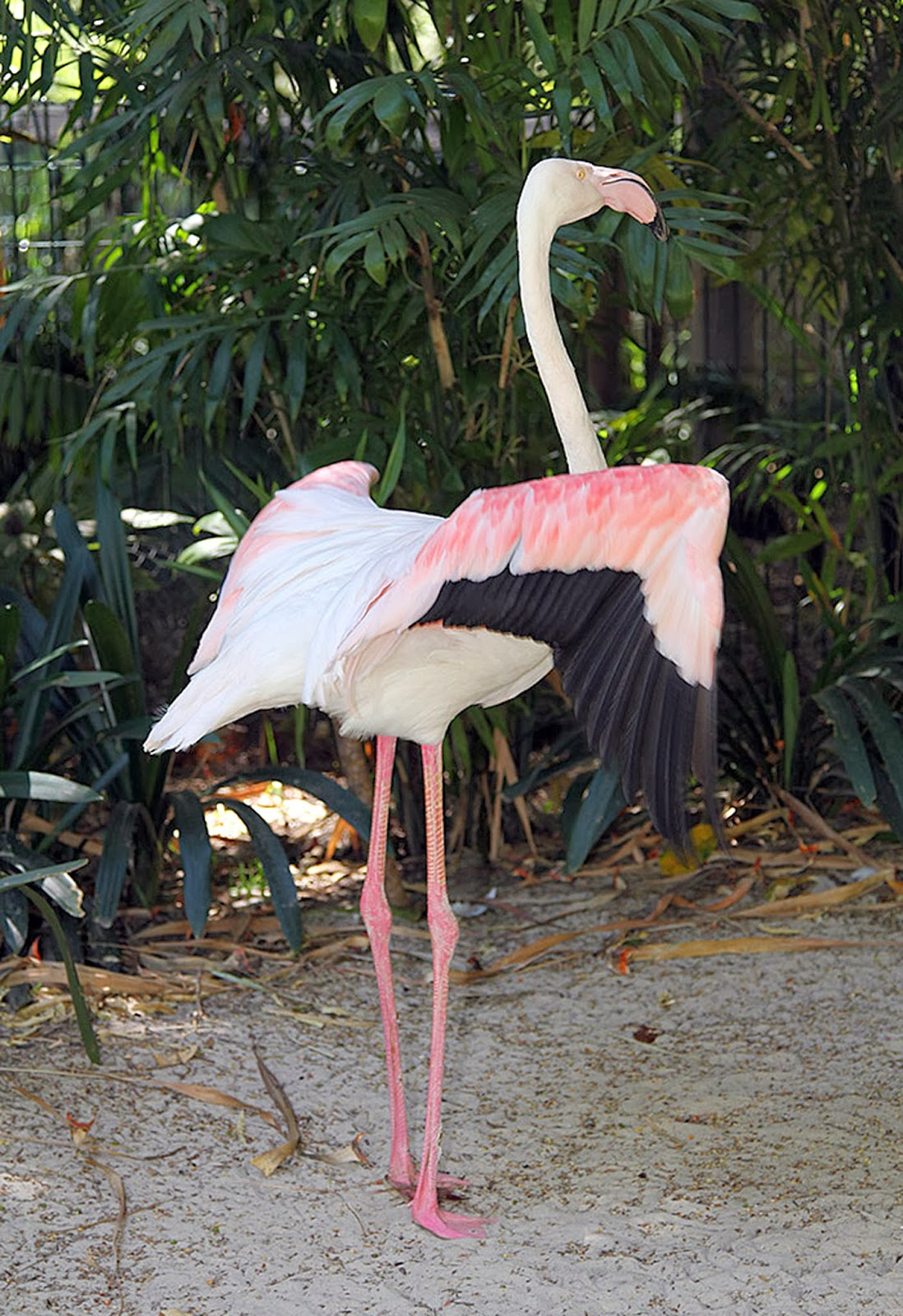 Adelaide Zoo, Animal, Australia, Birds, Died aged 83, Flamingos, Oldest, Second Oldest Zoo, World, Zoo,