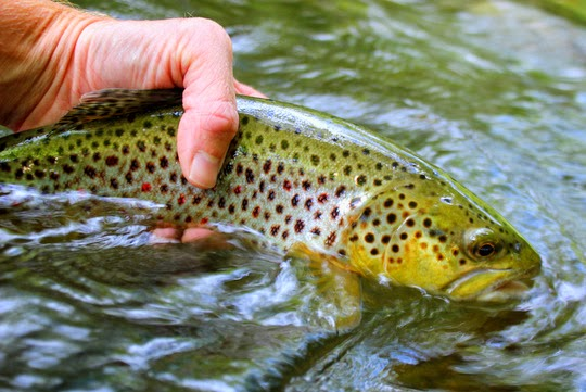 Smokies big brown trout