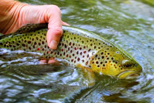 Smokies big brown trout