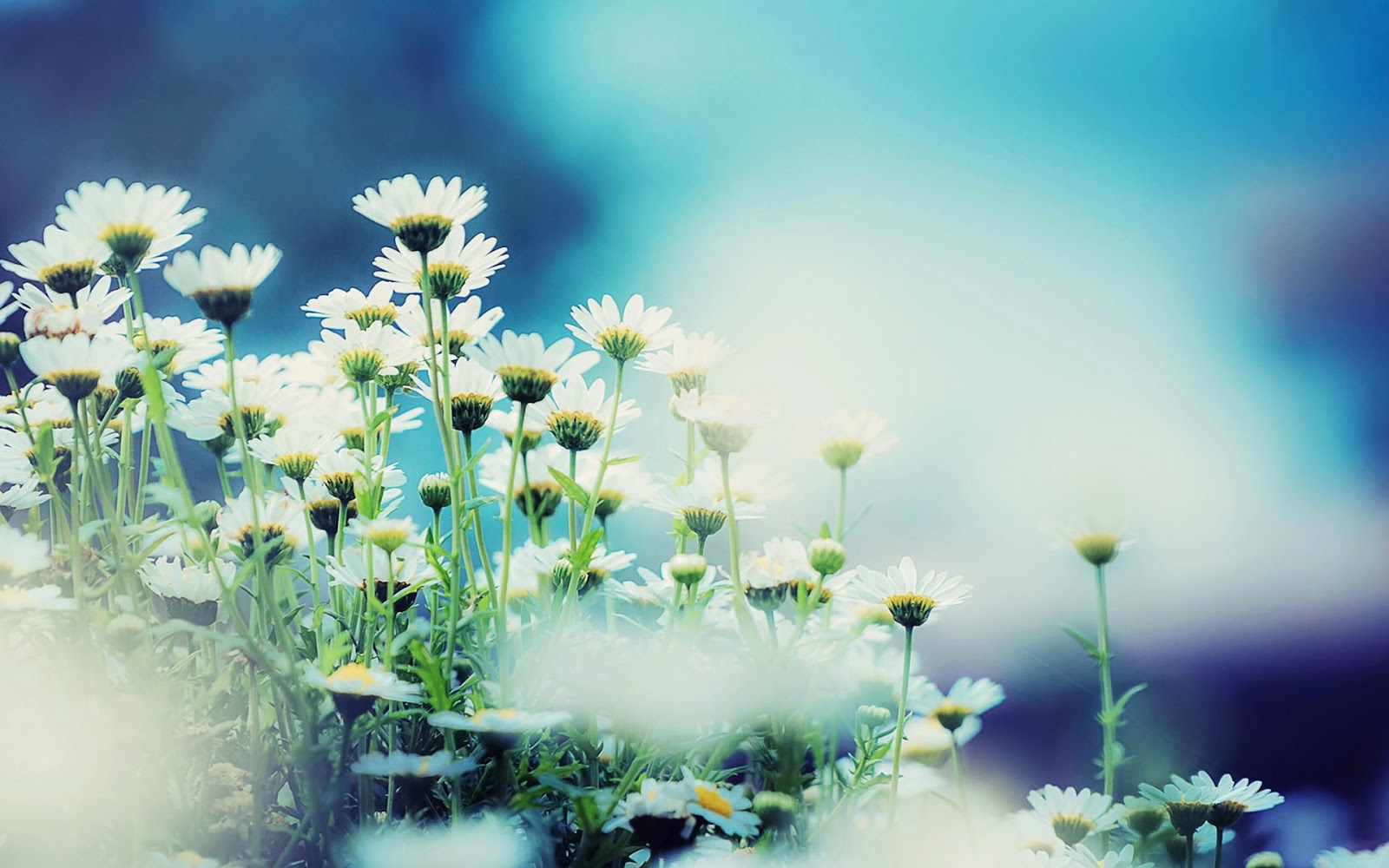 Daisy-flower-photo-album-free-download.jpg