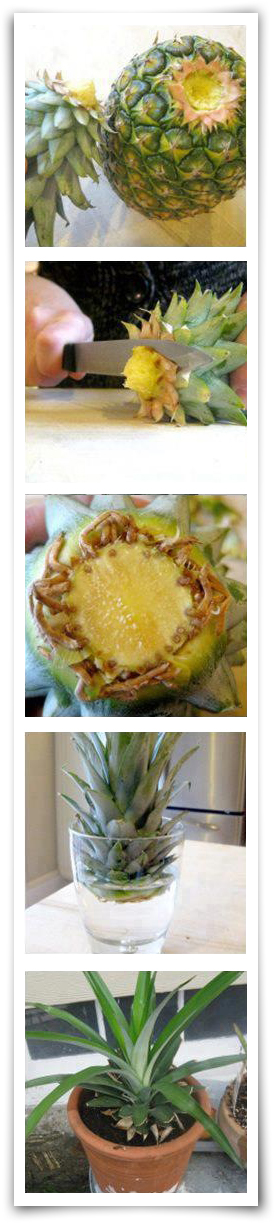 Permaculture Ideas How Easy It Is To Grow A Pineapple