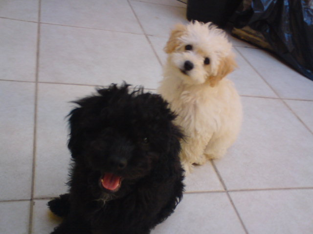 Floquinho and Picolino when puppies