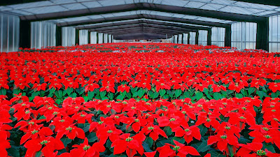 Poinsettia flowers cultivation in greenhouse (© SGM/Stock Connection/Aurora Photos) 424