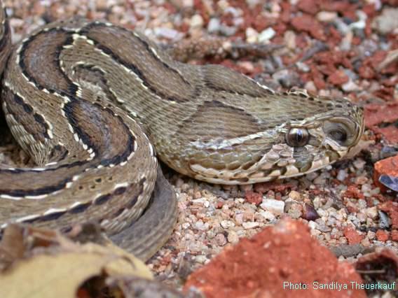 Top 10]Las serpientes más venenosas del mundo (info real)
