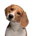 Educación canina: El luring, shaping y targeting