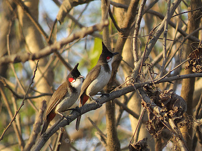 Red Whiskered Bulbuls