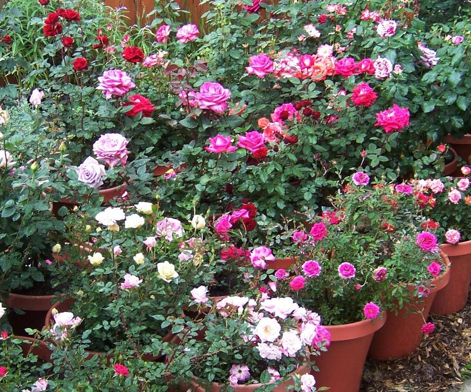 The 2 minute gardener photo container rose garden for Garden rose trees