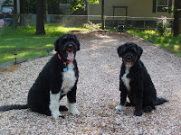 Leo and Hayley Our Portuguese Water Dogs