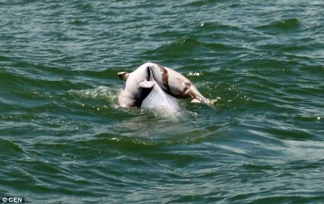 White Wolf : In mourning: Dolphin photographed carrying ... - photo#40