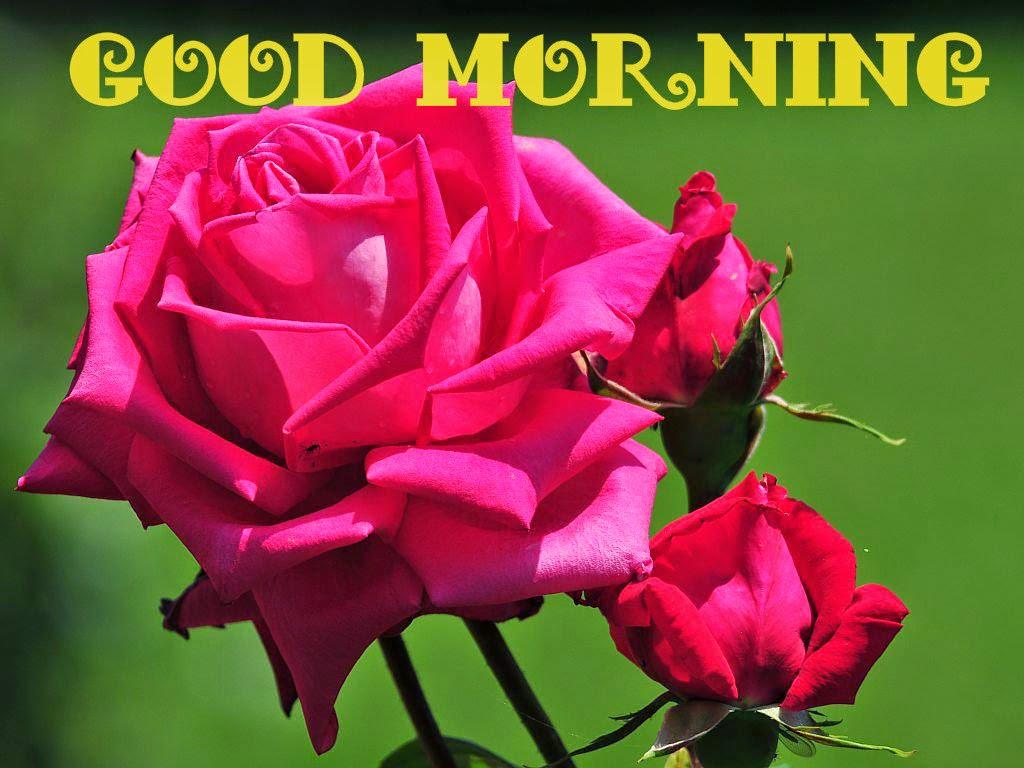 Good Morning Roses Download : Lovely good morning pink rose images download festival