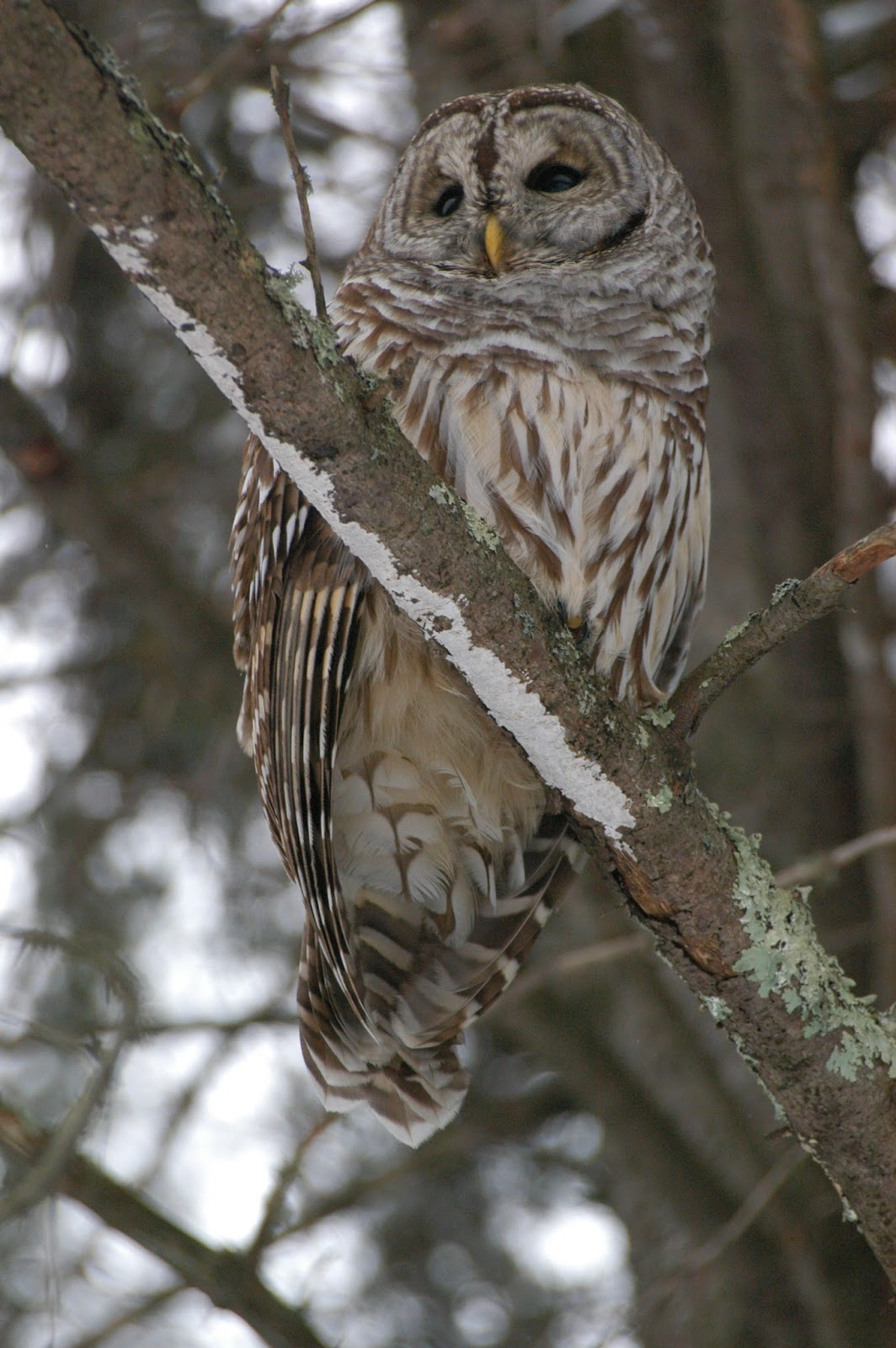 Animals in winter barred owls for Do owls eat fish