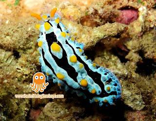 Nudibranch Pasir Putih Situbondo