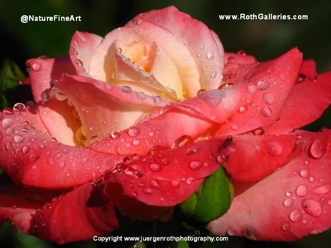 http://juergen-roth.artistwebsites.com/art/all/roses/all