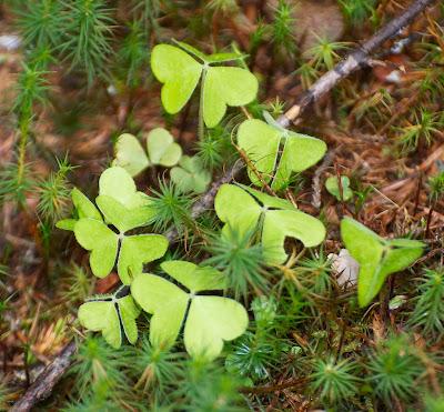 Common Wood-Sorrel (Oxalis montana)