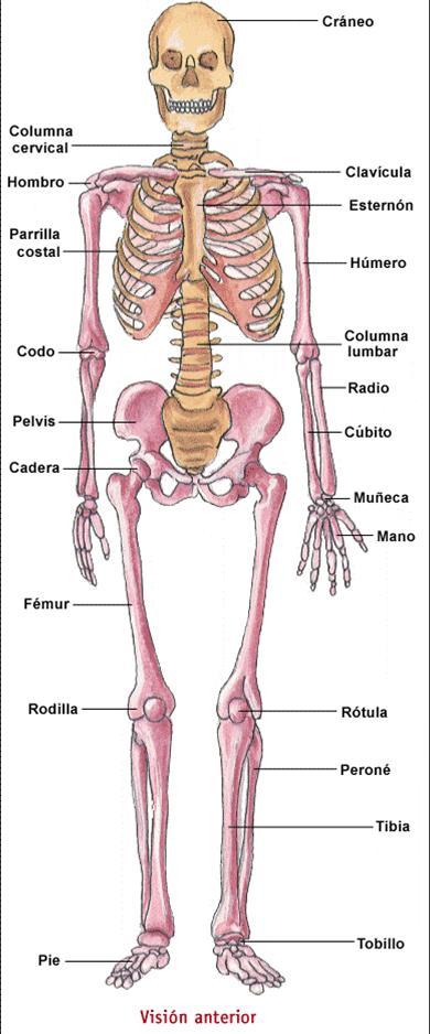 Ciencias Naturales: Primaria: El sistema óseo