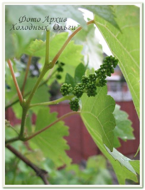 Цветущий виноград