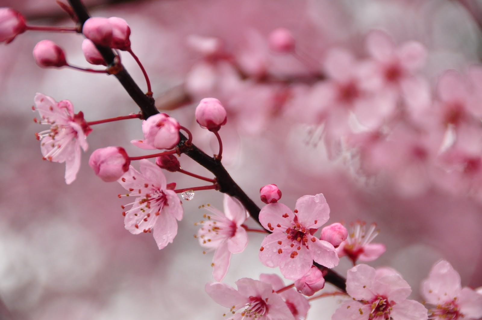 cherry blossom branch - photo #43