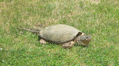 Eastern Snapping Turtle, Chelydra serpentina serpentina