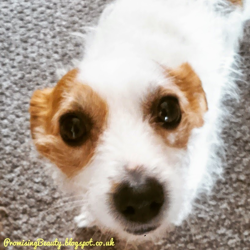 Gorgeous little Jack Russell terrier with her big brown eyes begging for bacon. a perfect, cute small dog.