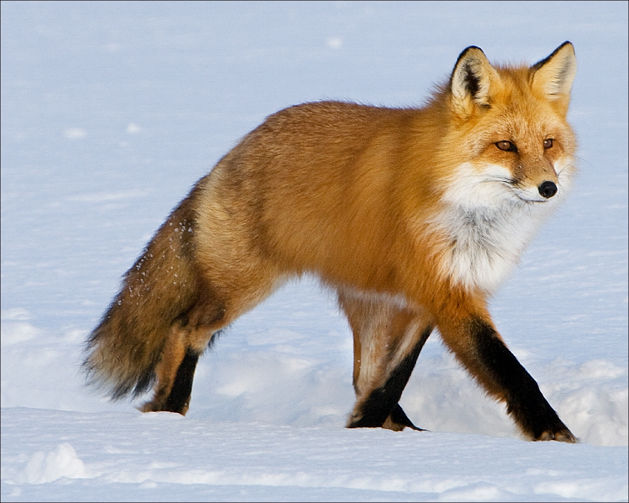 Картинки рыжие лисы - 0
