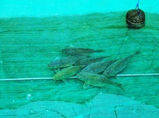 Ikan Mas Majalaya Tahan Penyakit
