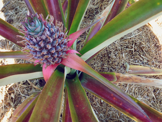 pineapple fruit growing slowly