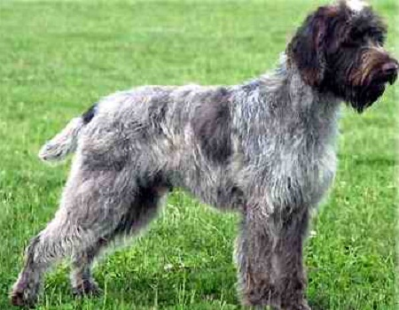 Medium-Sized Dog Breeds: Wirehaired Pointing Griffon Dogs