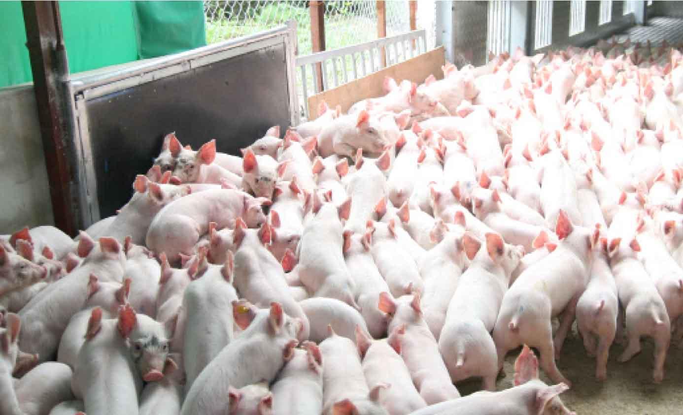 Nâng cao chỉ số PSY trong chăn nuôi heo.