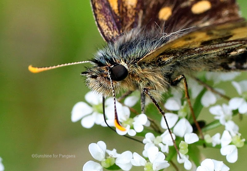 Hungry Butterfly on a flower