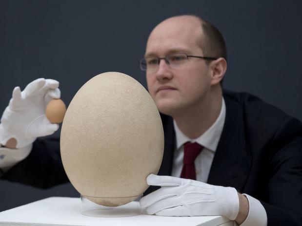 Egg Elephant Bird, ovo da ave-elefante