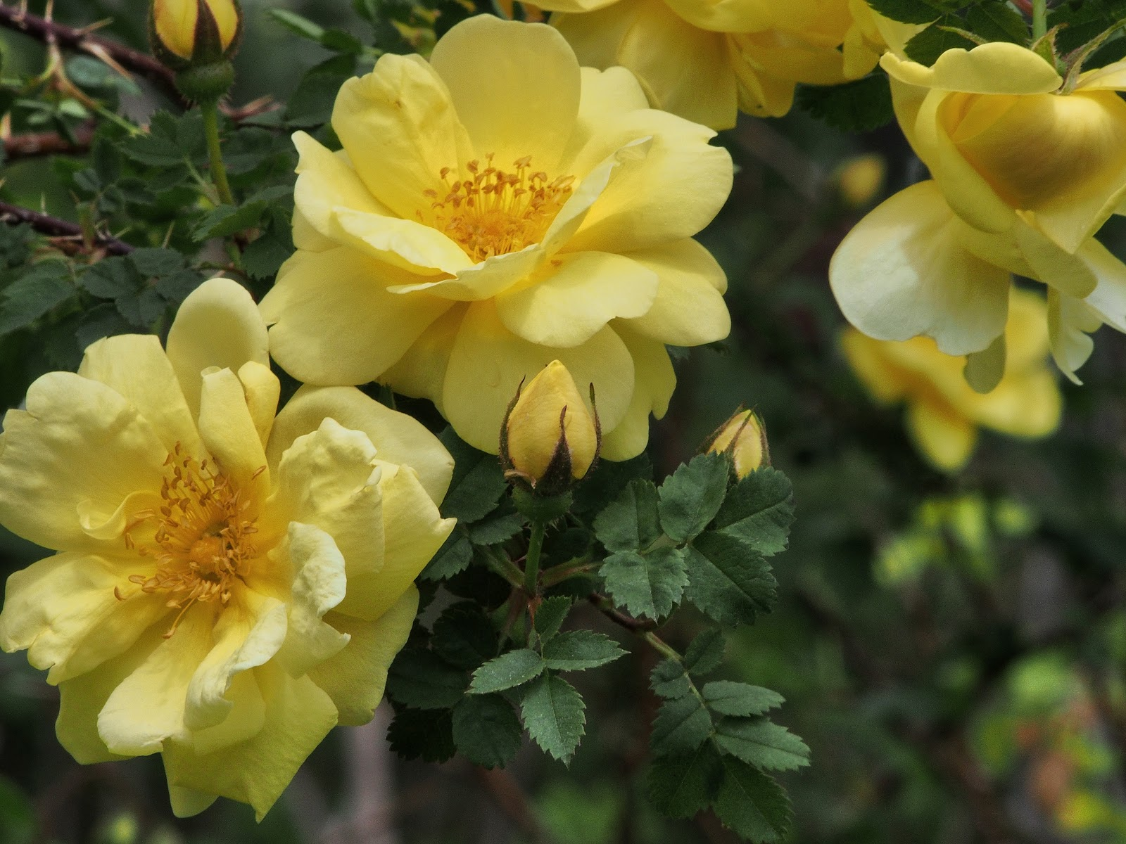 Yellow Roses, #ElizabethPark #RoseGarden #YellowRoses 2014