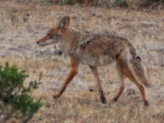Coyotes in the desert