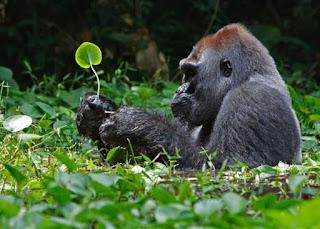 3 Days Rwanda Gorilla Trekking Tour Volcanoes National Park , kigali ,uganda , kampala , muhabura htoel , la palme hotel , mountain gorilla view lodge