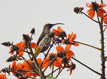 Whitehead's Spiderhunter_2011