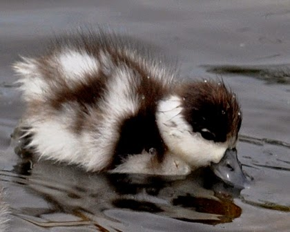 shelduck chick
