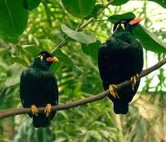 Foto Burung Beo Jantan
