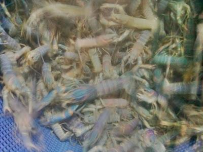 Jual Ikan Hias Jual Lobster Biru